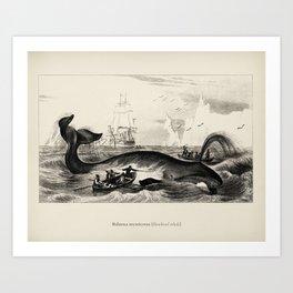 Balaena mysticetus, Bowhead whale, by Charles Dessalines D' Orbigny (1806-1876) Art Print