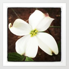 Dogwood Blooming Art Print