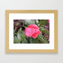 Frost Melted On First Rose Framed Art Print