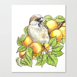 Sparrow on an apricot branch Canvas Print