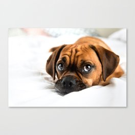 Adorable Puggle Dog on White Bed Canvas Print