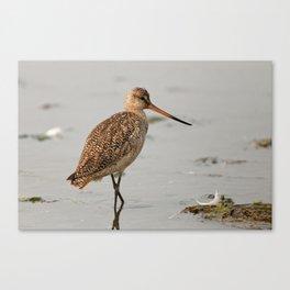Marbled Godwit | Sandpiper | Bird | Wildife Photography Canvas Print
