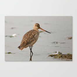 Marbled Godwit | Sandpiper | Bird | Wildife Photography Canvas Print