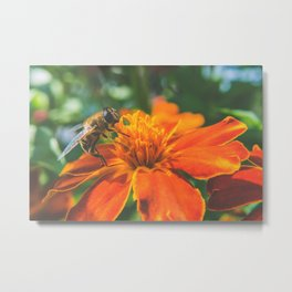 Bee working on flower Metal Print