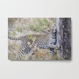 A Leopard's Scratching Post Metal Print
