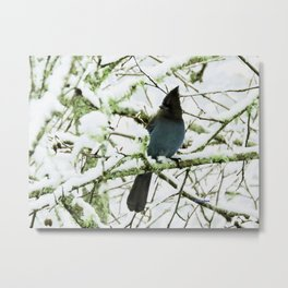 Steller's Jay in the Snow Metal Print