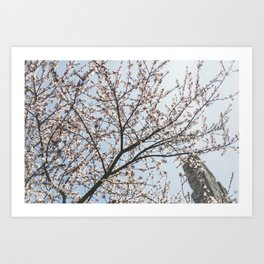 Cherry Blossoms in the spring Art Print