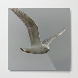Seagull In Flight Against Gray Sky Vector Metal Print