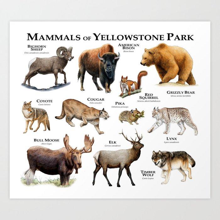 Mammals of Yellowstone Park Art Print