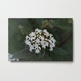 Viburnum tinus flowers and buds Metal Print