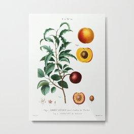 Inside part of apricot. Apricot from Holland (Abricot de Hollande) from Traité des Arbres et Arbuste Metal Print