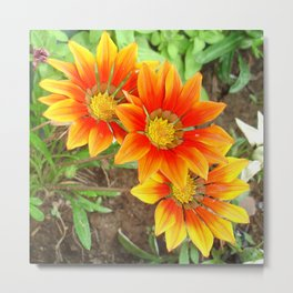 Three Bright Colored Gazania Flowers and Garden Metal Print