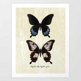 Butterfly10_Papilio Ascalaphus pair Art Print
