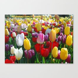 Colorful Springtime Tulips in the Netherlands Canvas Print