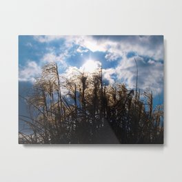 Pampas grass in the sunshine. Metal Print