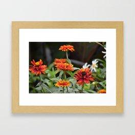 Orange Dahlias Framed Art Print