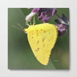Orange Sulphur Butterfly Metal Print
