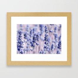 Lavender 0158 Framed Art Print