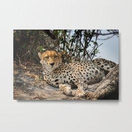 Alert Cheetah Metal Print