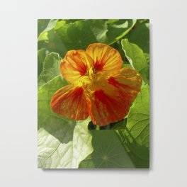 nasturtium bloom XI Metal Print