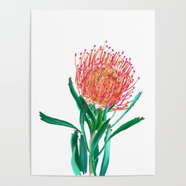 Pincushion protea flower Poster