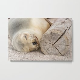 Sleeping sea lion on the beach Metal Print
