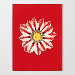 African Daisy / Gazania - Red and White Striped Poster
