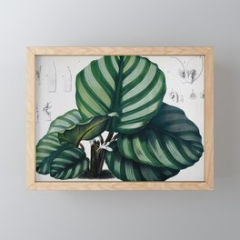 Flower calathea fasciata Framed Mini Art Print