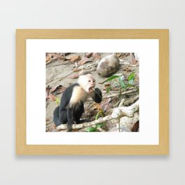 Capuchin monkey Framed Art Print