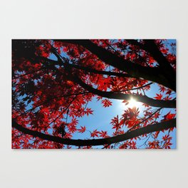 Japanese maple in scarlet against blue fall sky Canvas Print