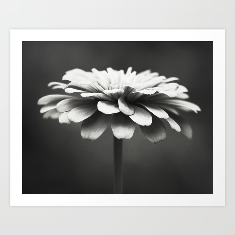 Black And White Flower Photography Zinnia Floral Photograph Neutral Nature Photo Modern Botanical Art Print By Carolyncochrane Society6