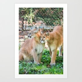 Nature Center & Asheville - Cougars Art Print