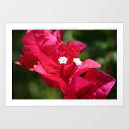 Sanibel Flower Art Print