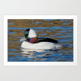 Bufflehead Duck on the Winter Pond Art Print
