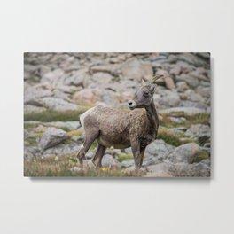 Mt. Evans Goats Metal Print
