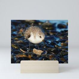 Cute Sanderling Dines on Tasty Clam Mini Art Print