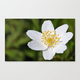Wood anemone Canvas Print