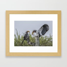 Southern Yellow-billed Hornbills Mating Display, No. 1 Framed Art Print