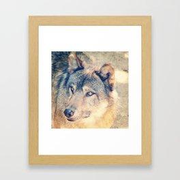 Regard De Loup Framed Art Print