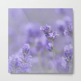 Lavenderfield - Lavender Summer Flower Flowers Floral Metal Print