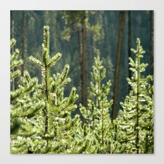 Young Lodgepole Pines after a rain Canvas Print