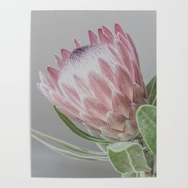 Protea In Isolation Poster