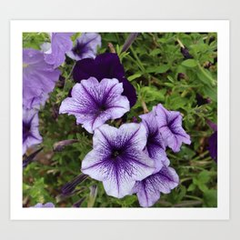 Purple Petunias Art Print