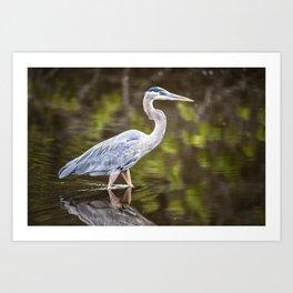 A great blue heron wades through brackish water Art Print