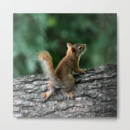 Young Red: Juvenile Red Squirrel Metal Print