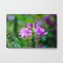Purple Spider Flower Metal Print