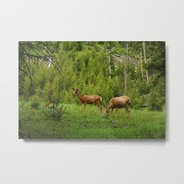 Wapiti In Yellowstone N P Metal Print