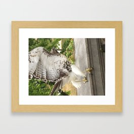Red Tailed Hawk Takes Flight Framed Art Print