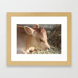 Baby Jersey Bull Calf Framed Art Print