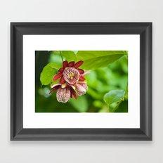 Passiflora 3 flowers 428 Framed Art Print